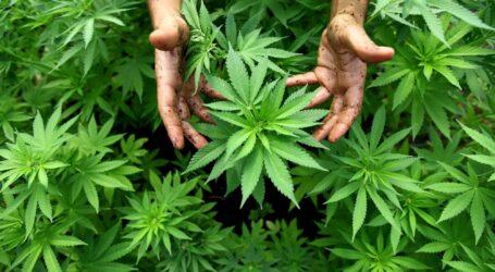 الحكومة المغربية تصادق على تقنين زراعة مخدر القنب الهندي